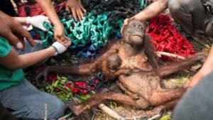 orangutan požár