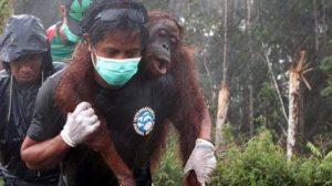 orangutan požár4