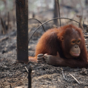 orangutan požár5