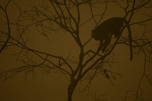 Long tail monkeys rest in a tree where the air is engulfed with thick haze at a bank of Kapuas river in Kapuas district, Central Kalimantan province, Borneo island, Indonesia.